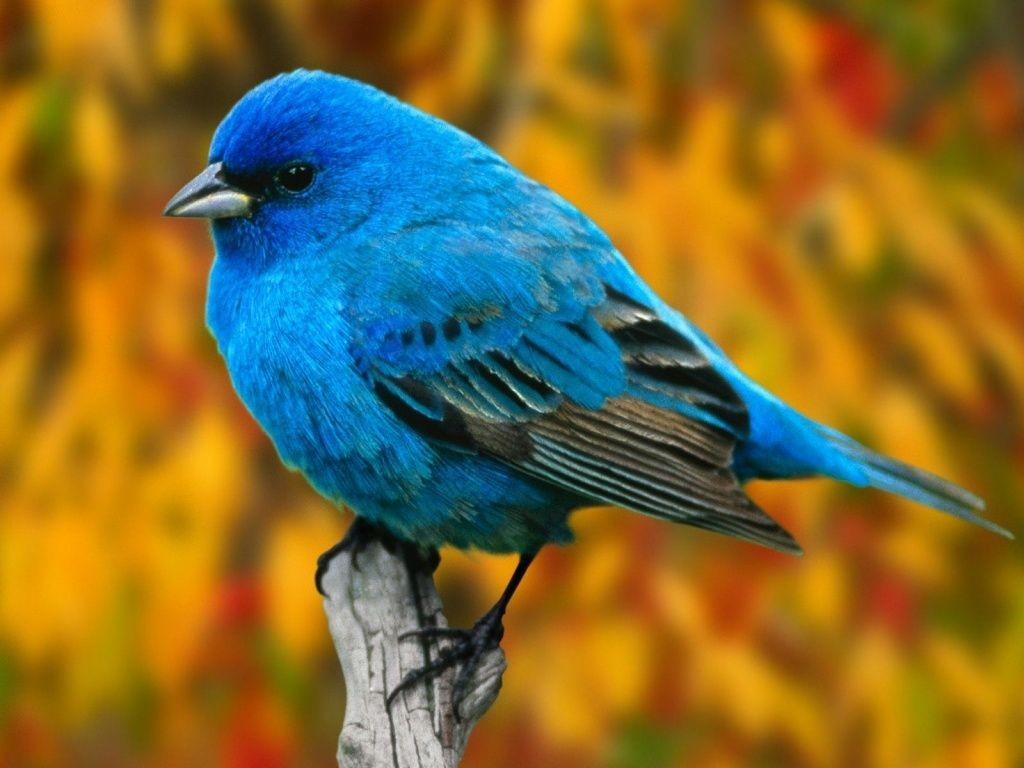 pajaro_azul-1024x768